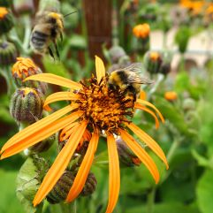 Bumblebees on ligularia in the Jardin des Plantes