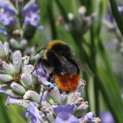 Male red-tailed bee - the host species of the field cuckoo bee