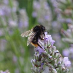 Another red-tailed bee, though not so red and a bit stripy. I'm not sure about this one.