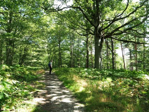 Dappled shade on a woodland path and a grand oak tree
