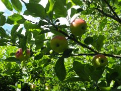 Discovery apples on tree