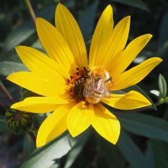 Perennial sunflower & bumblebee