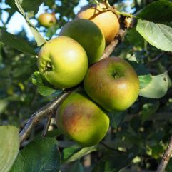 The best crop of Bramley apples yet