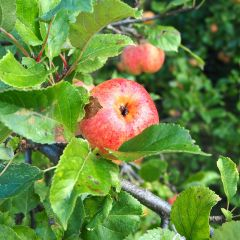 From a distance the Sunset apples look picture perfect, though up close the blemishes appear