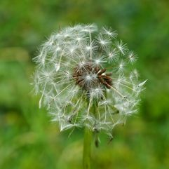 A dandelion clock poised to break apart in the wind