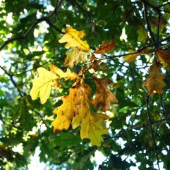 First autumn colour on the oak tree, twenty five years on from a seedling in a pot