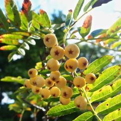 Golden rowan berries will soon be stripped by hungry blackbirds