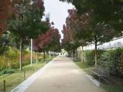 A subtle avenue of Fraxinus americana 'Autumn Purple'