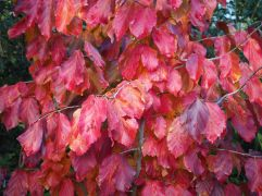 The brilliant red of Parottia persica turns to gold later in the season
