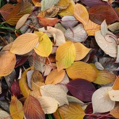 Cherry leaves in a subtle mix of plum, peach, beige and soft yellow