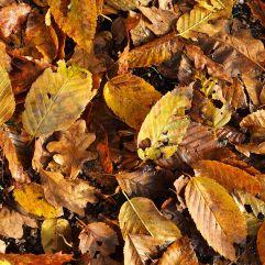 Hornbeam (full of holes) and leathery brown oak leaves