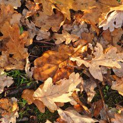Oak leaves in a fleeting patch of sunlight