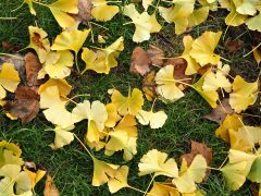 Lemon yellow ginkgo leaves hold their colour on the ground; poplar leaves are yellow when they fall but quickly turn brown