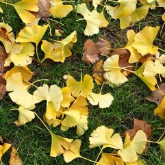 Lemon yellow ginkgo leaves hold their colour on the ground; poplar leaves are yellow when they fall but quickly turn brown - November 2016