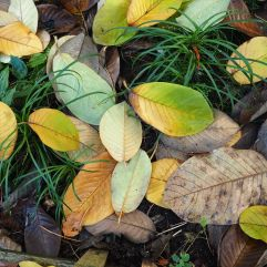 Magnolia leaves in shades of green, gold and brown