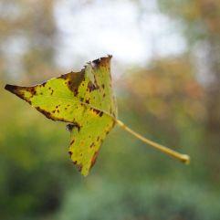 Poplar leaf caught in flight by spider silk