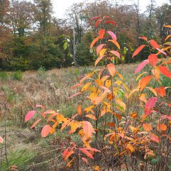 Flamboyant local colour from the indigenous spindle tree