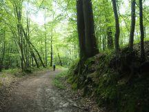 Majestic beech trees dwarf a woodland rambler