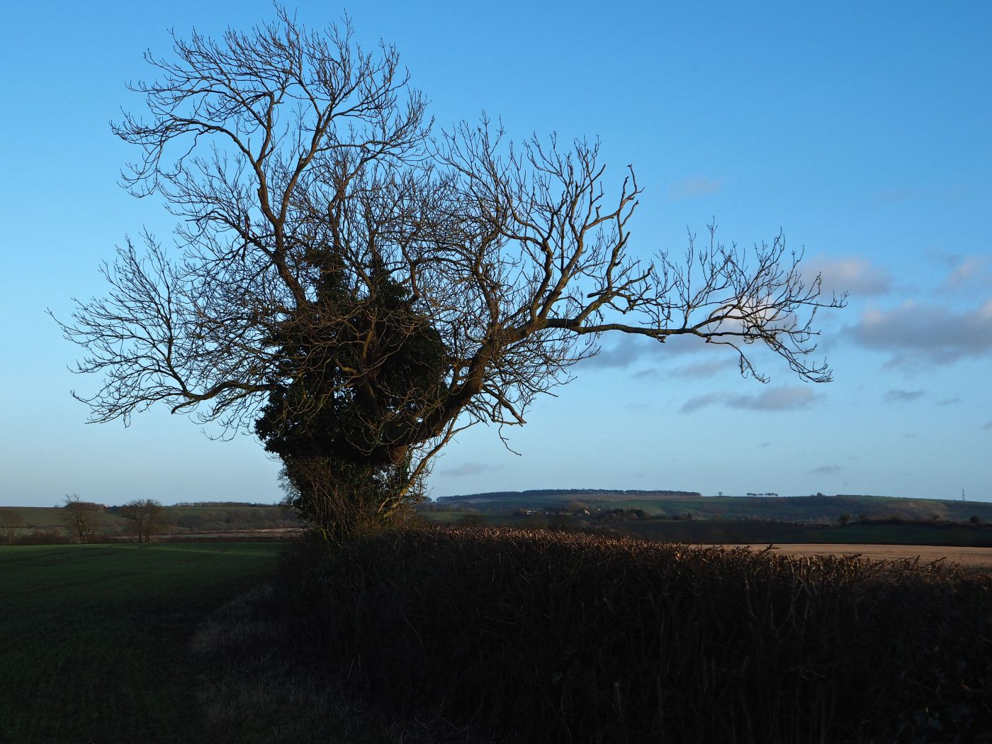hedgerow ash east yorkshire