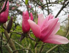 Lily-flowered magnolia flowers open from neatly folded buds