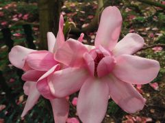 Fleeting sunshine on Magnolia campbellii