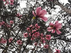 Pink magnolias in the Parc Floral