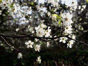 wild plum blossom Paris March