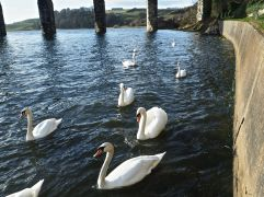 Swans on the River Tweed, Berwick - March 2017