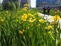 Yellow flag irises by the waterside in Parc Martin Luther King