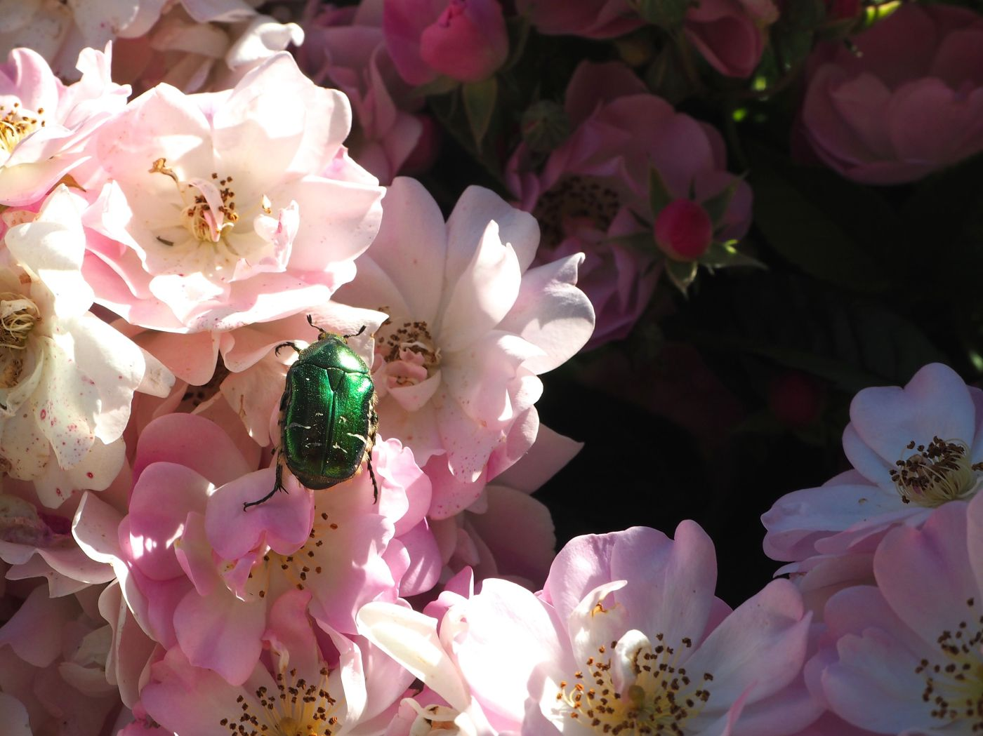 rose chafer beetle & rose apple blossom