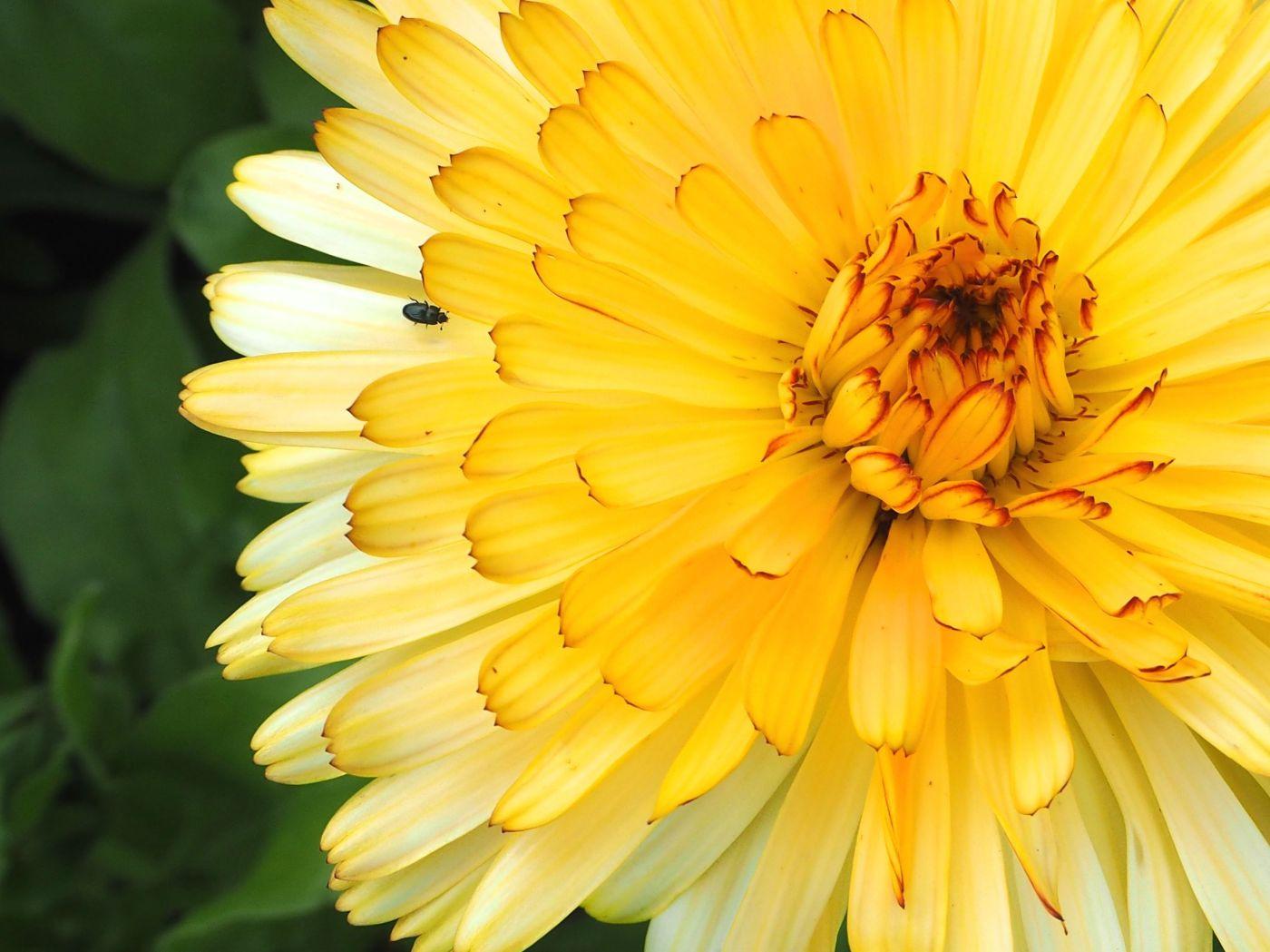 pollen beetle marigold