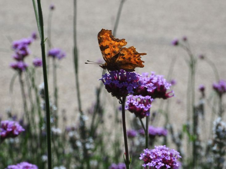 comma butterfly contra jour