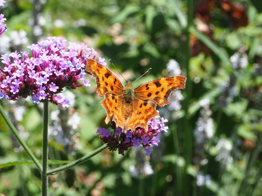 comma butterfly verbena