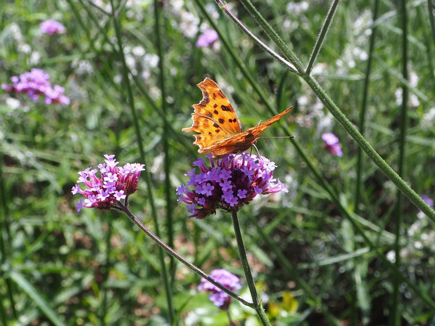 comma butterfly verbena