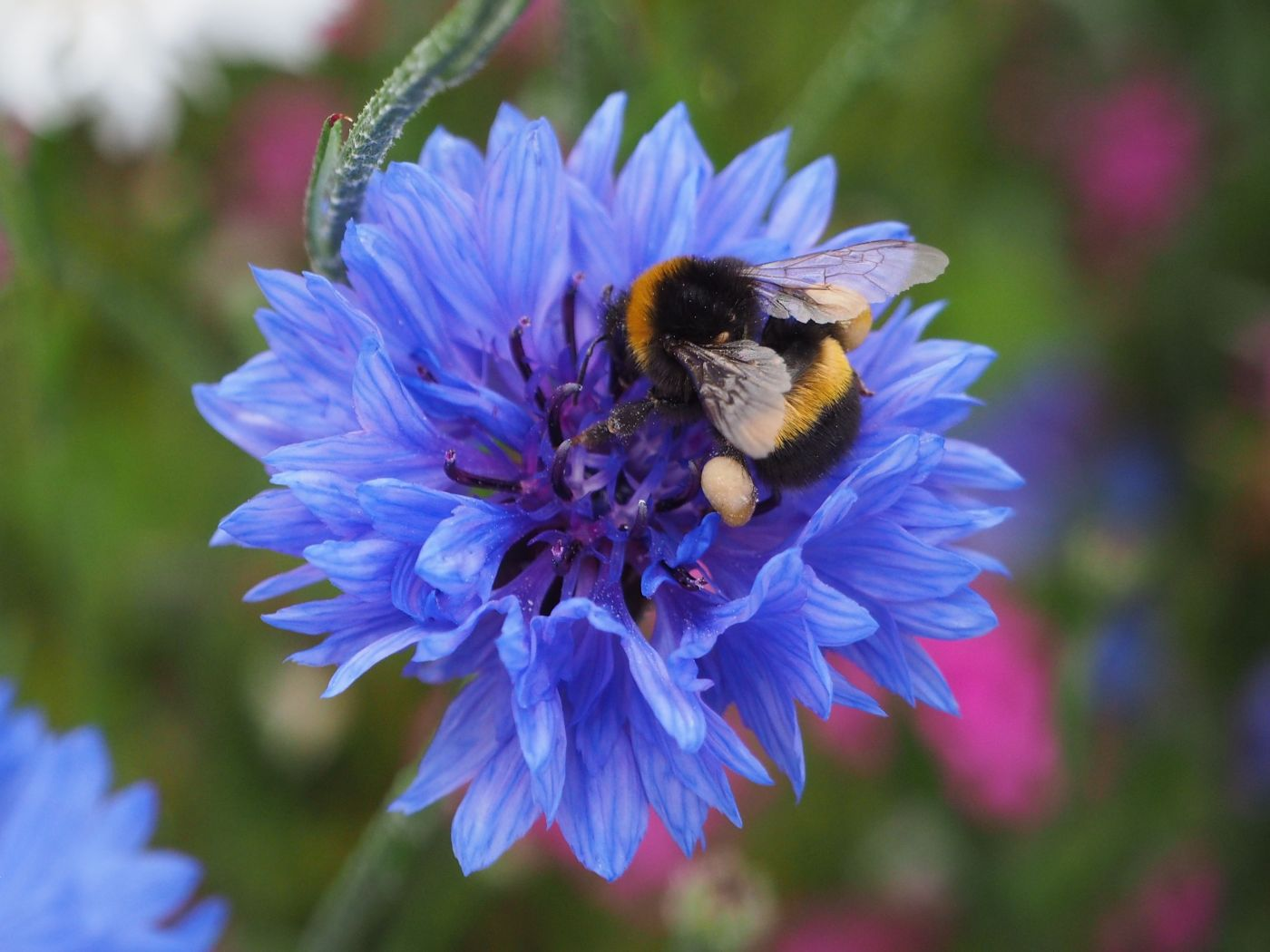 bumble bee cornflower