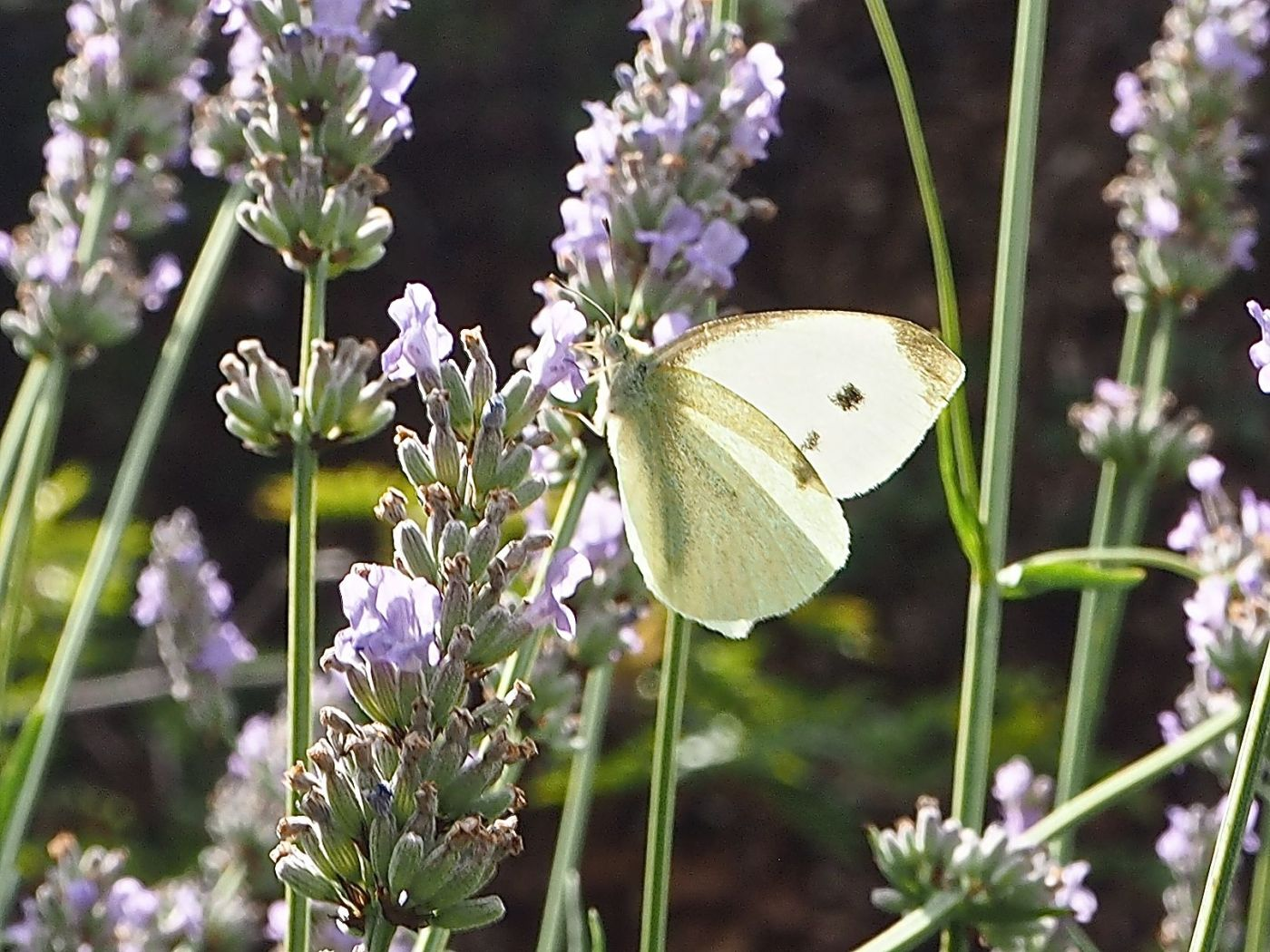 large white butterfly on lavender