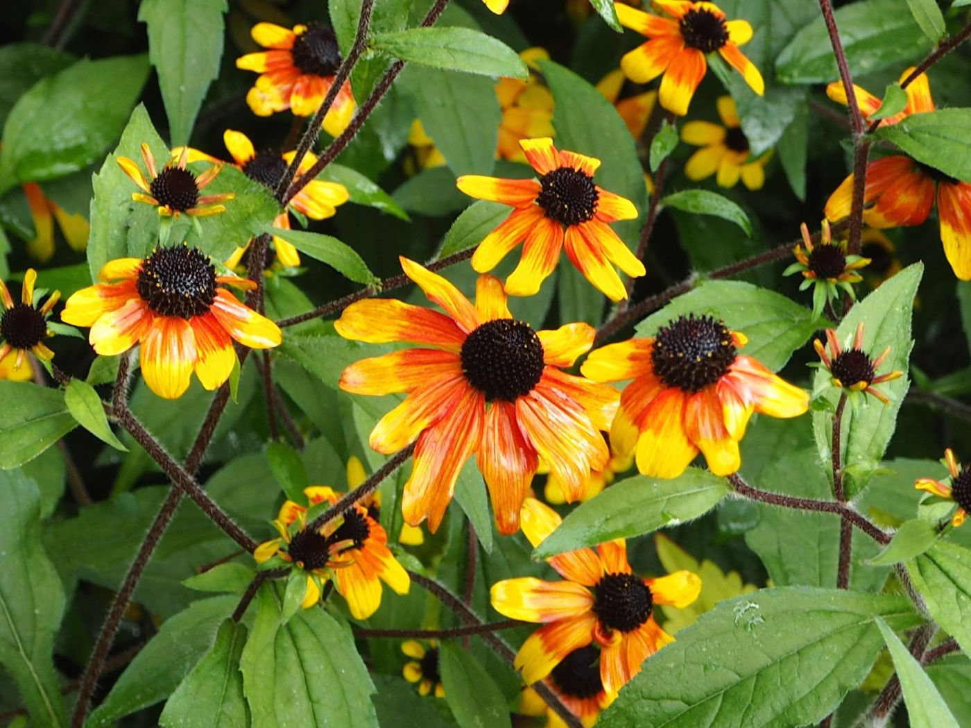 rudbeckia after rain