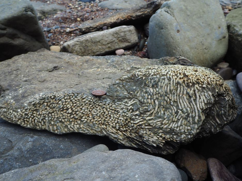 fossil coral Spittal beach Northumberland