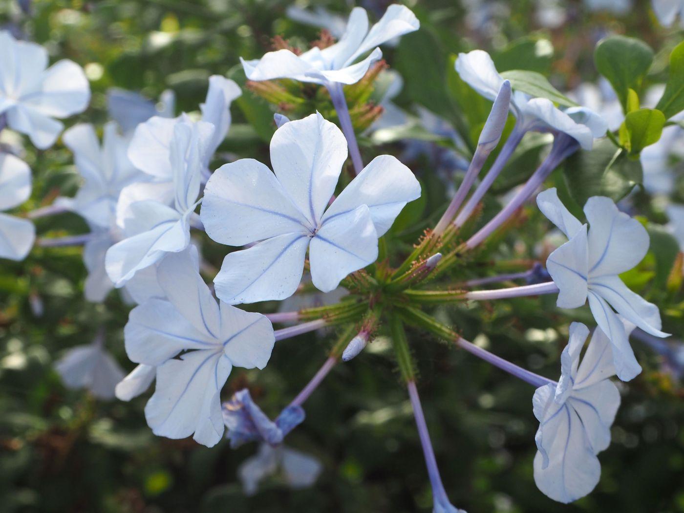pale blue plumbago