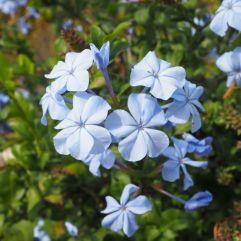 Plumbago blue