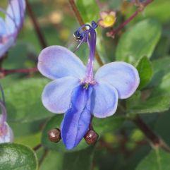 Rotheca myricoides flower