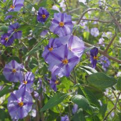 Another blue that changes to violet in the sun - Lycianthes rantonnetii