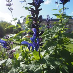 There's a special display of Salvias in the garden at the moment including many gorgeous blues but the oddly angular flowers are scattered along long spikes and are very hard to photograph!