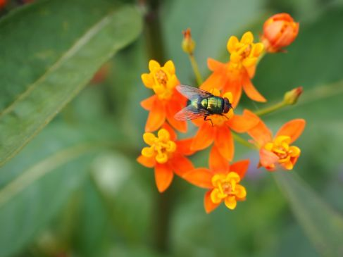 An iridescent fly on a complicated milkweed flower