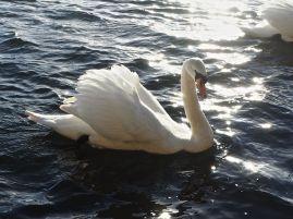 Swan and sunlight at Berwick