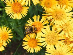 Bee on fleabane