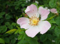 Dog rose and beetle