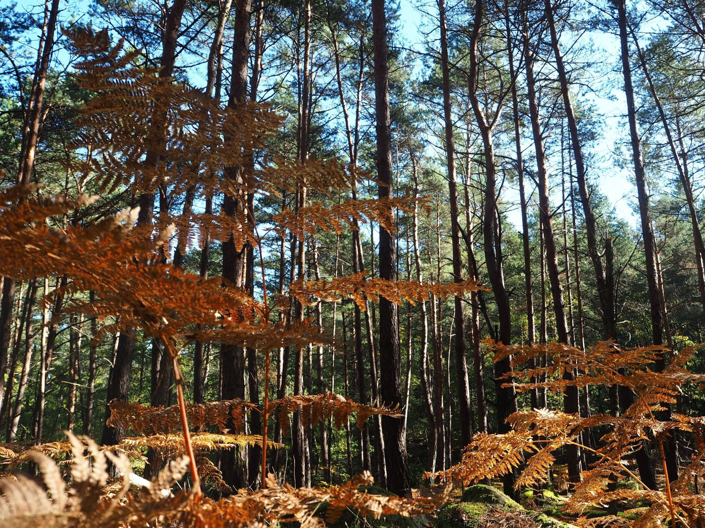 Bracken in pine forest