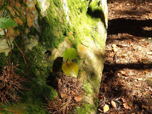 beech seedling boulder forêt de fontainebleau