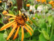 Bee taking flight in the Jardin des Plantes - July 2016